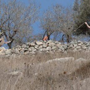 La récolte annuelle des olives va de pair avec la violence des colons